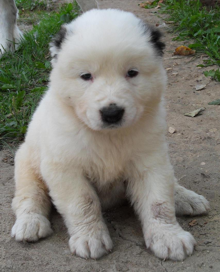 Собаки и щенки породы Среднеазиатская овчарка  купить из