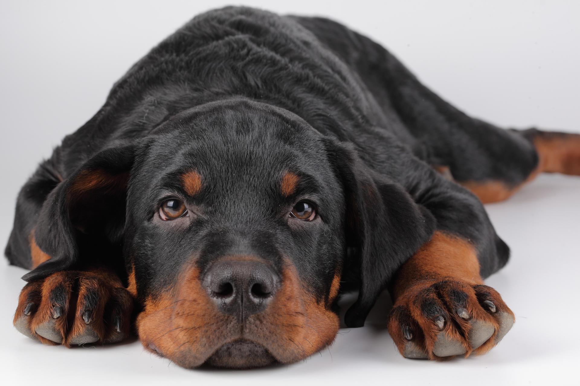Ушной клещ у собак лечение в домашних условиях