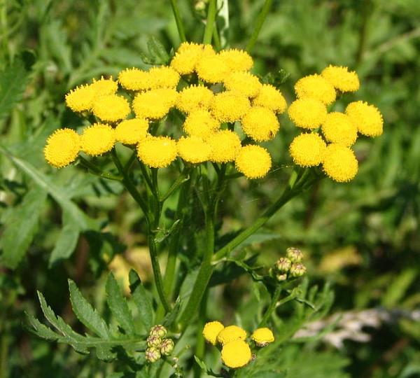лекарственные растения с желтыми цветами фото и названия формы отлично подходят