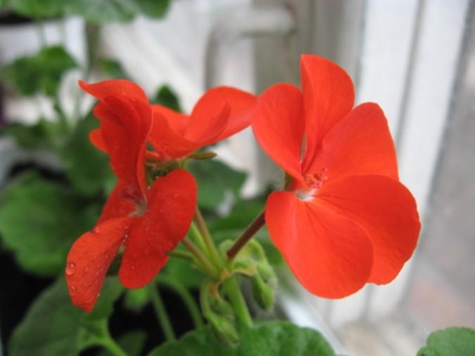Рассада цветов: правила выращивания 19