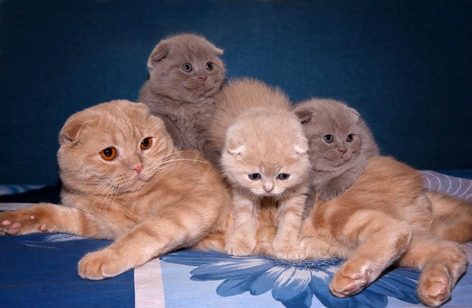 Кормление и уход за котятами шотландской вислоухой
