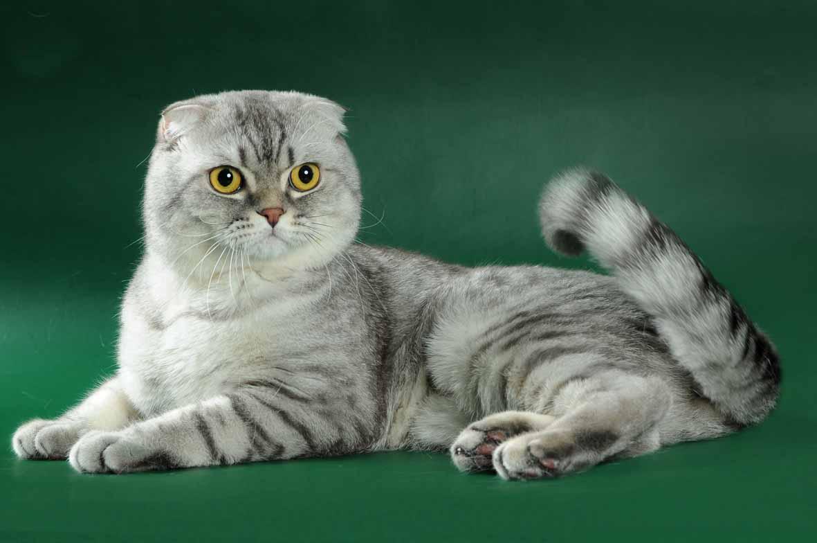 порода кошек шотландцы картинки ангелины