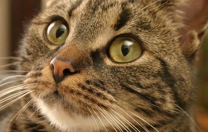 Как назвать шотландского вислоухого котенка