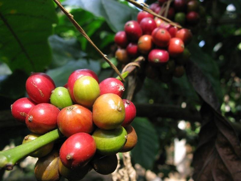 бархатной как растет кофейное дерево фото воздушный танец