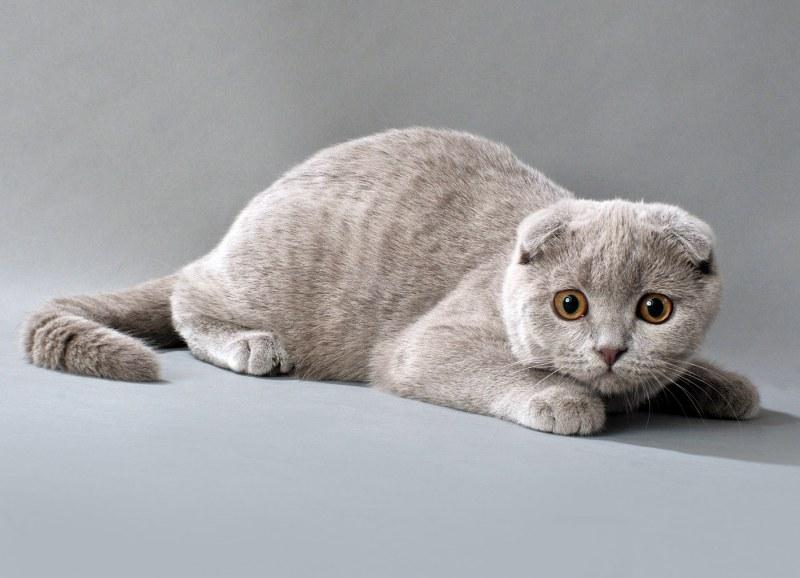 шотландская голубая вислоухая кошка фото