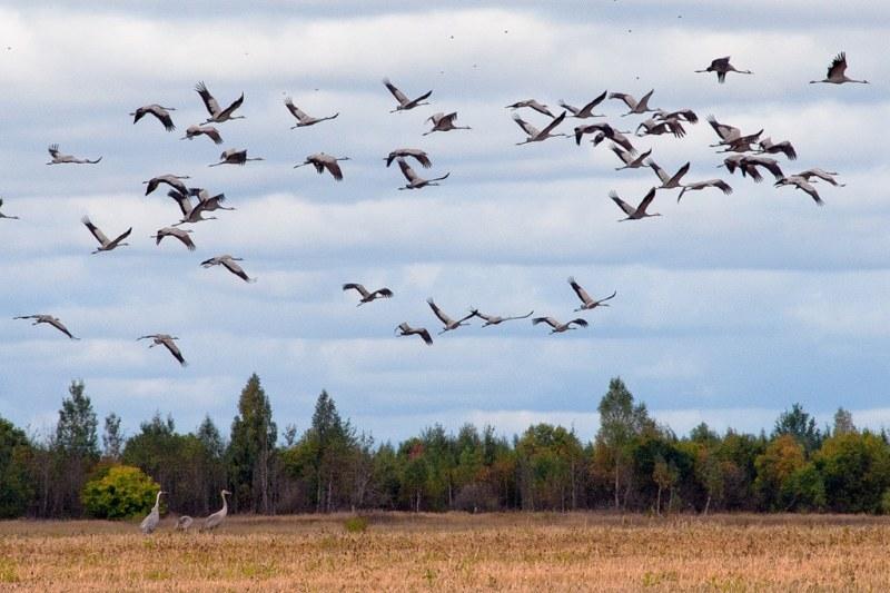 Картинки улетающих птиц осенью