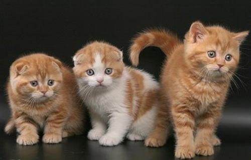 Как назвать котенка шотлнадка