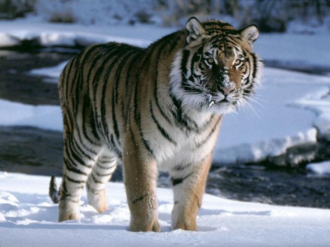 Уссурийский тигр, 4 буквы, 4-я буква Р, сканворд