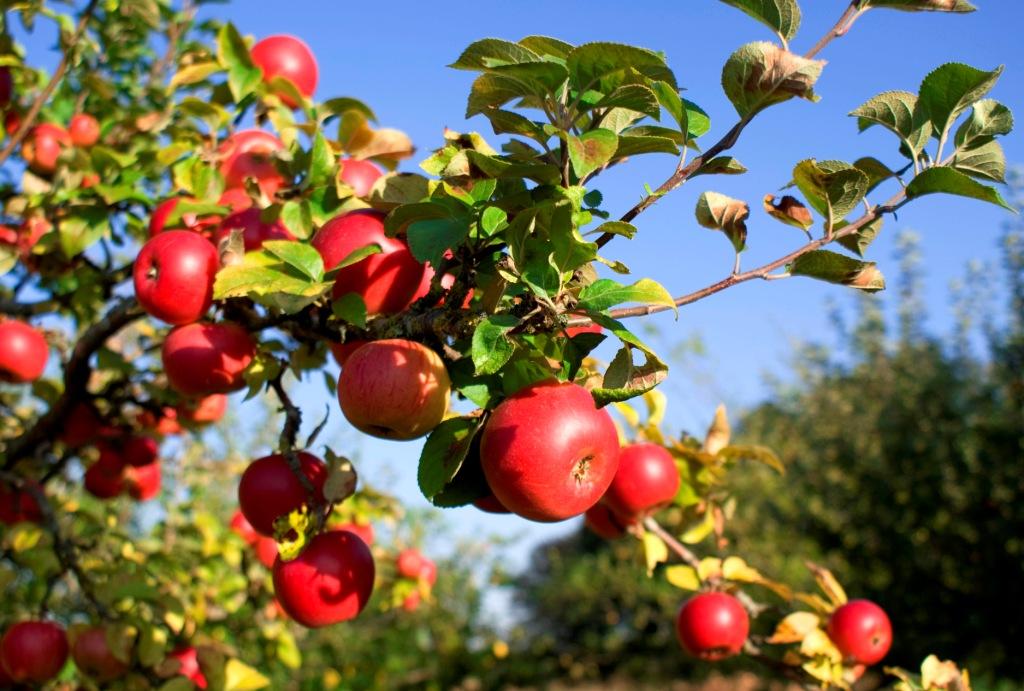 Как привить яблоню в домашних условиях