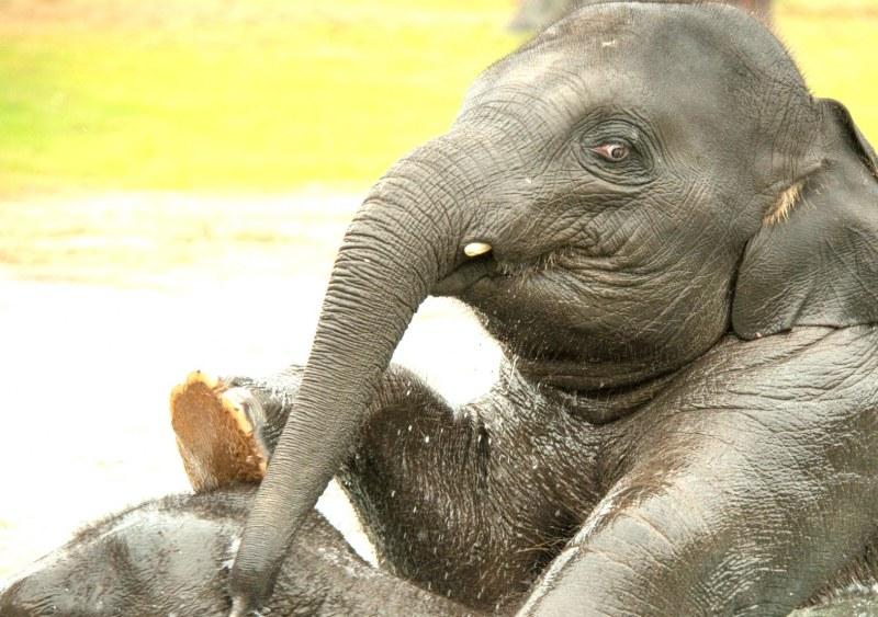 Сделала минет слону 6 фотография