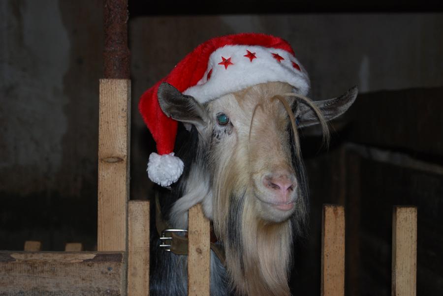 Картинки прикольные год козы, открытки пожеланиями счастья
