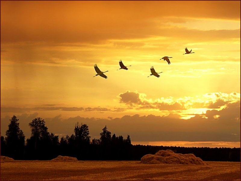 Фото журавлей летящих