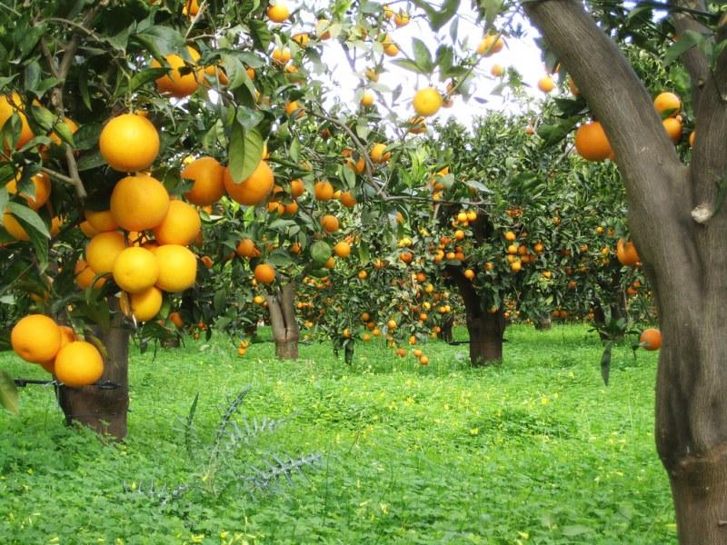 Где растет авокадо в каких странах