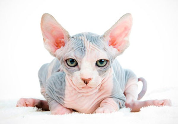 как узнать есть аллергия на кошек
