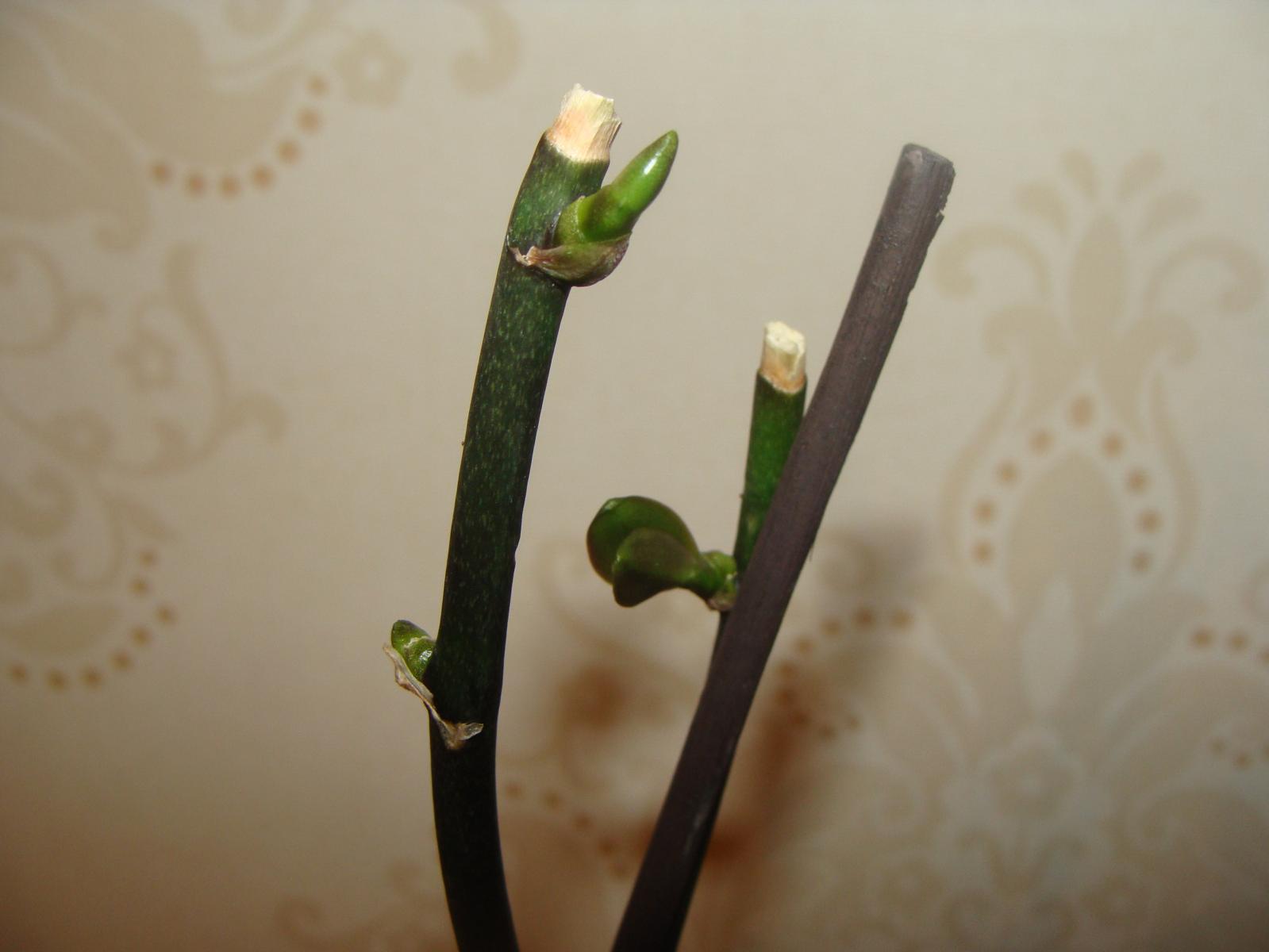 Как правильно обрезать орхидею после цветения фото пошагово