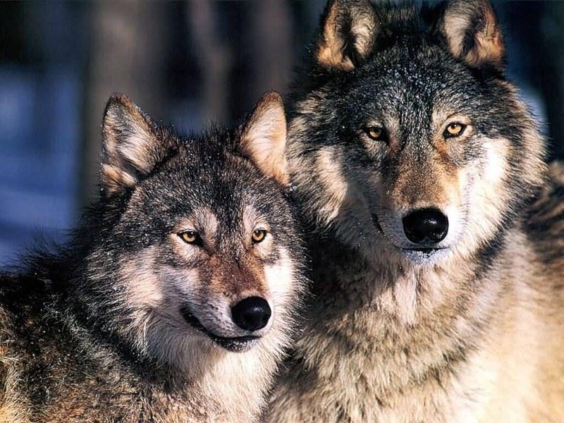 обычно прорисовываю два волка и волчица картинки чем носить