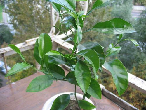 Вырос лимон из косточки в домашних условиях - Isuemp.ru