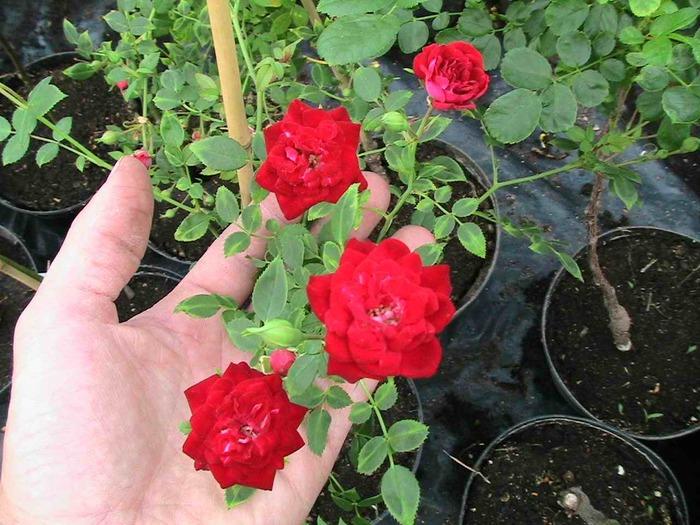 Роза комнатная  Комнатные растения цветы Floretsru
