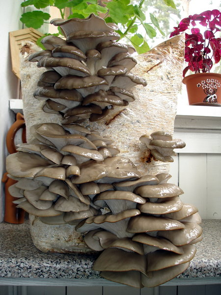 Выращивание вешенки в грибных блоках 74