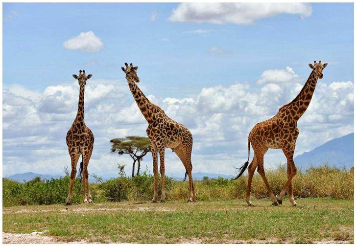 жирафы в Амбосели