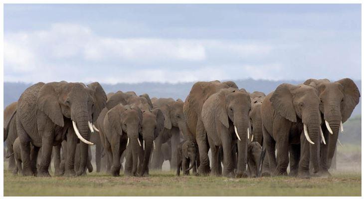 стадо слонов в Амбосели