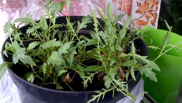 Как вырастить рукколу дома на подоконнике - как вырастить на подоконнике - Сад и огород