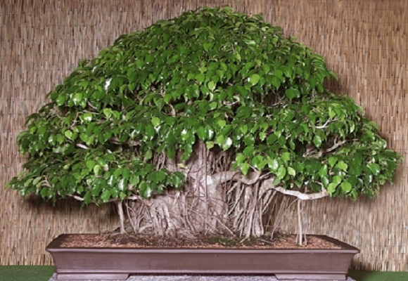 фикус бенджамина листья