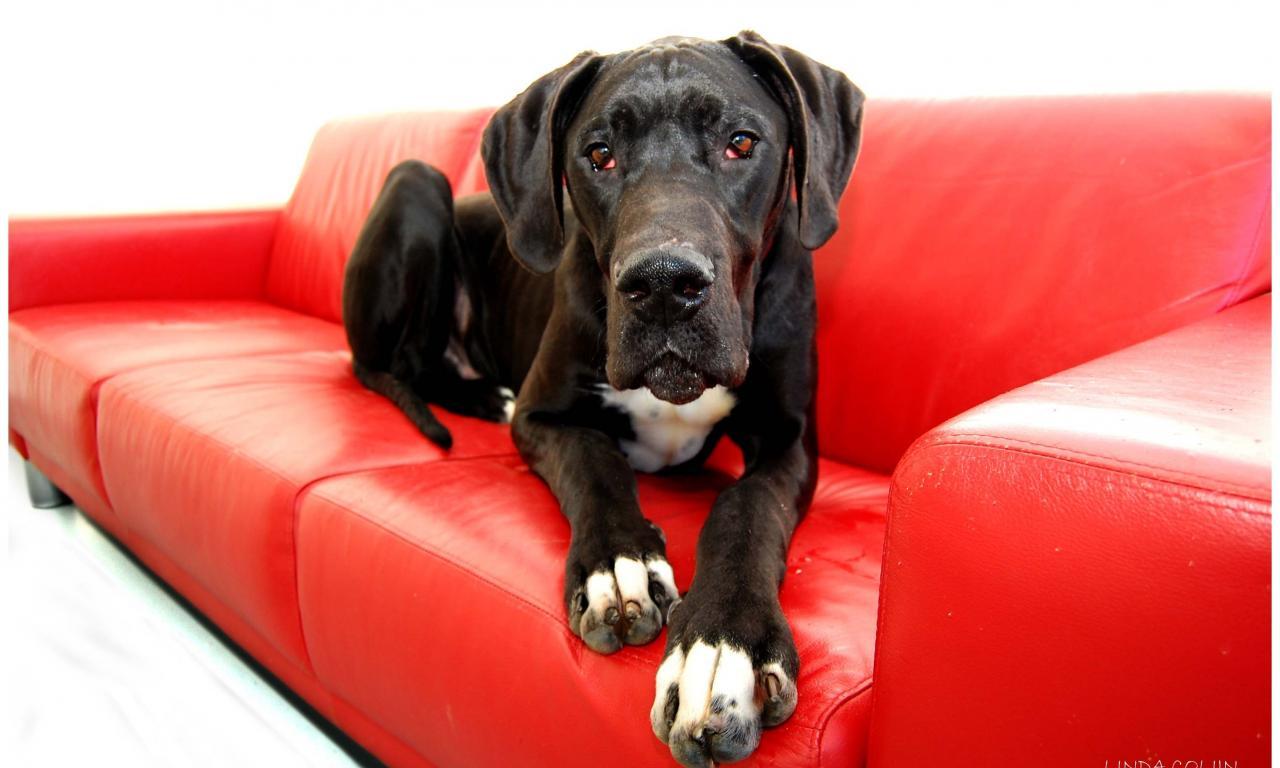 собака на диване без чехлов