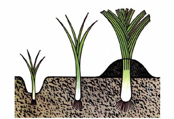 картинки детям как сажать лук также