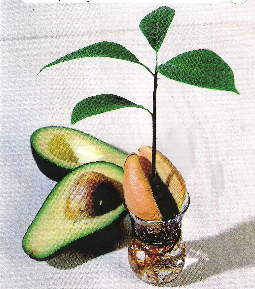 Как посадить косточку авокадо в домашних условиях 26