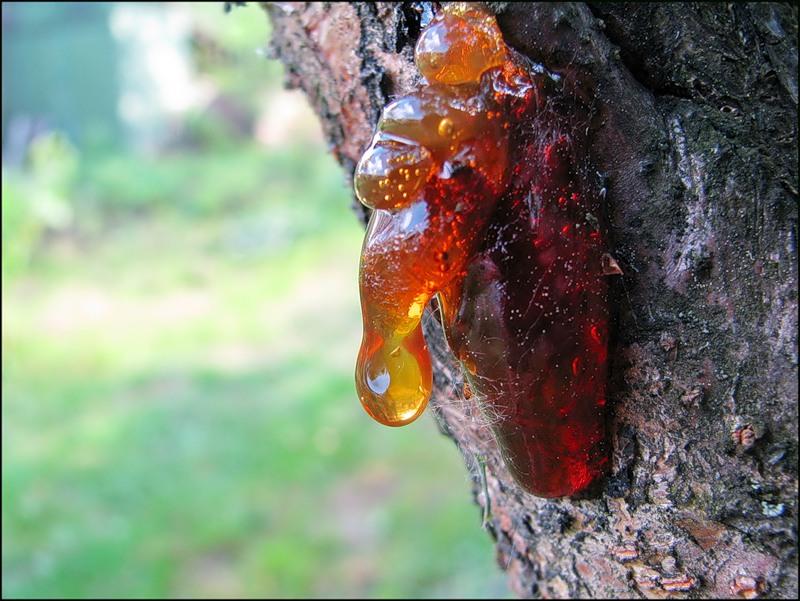 Болезни вишни (выделение камеди)