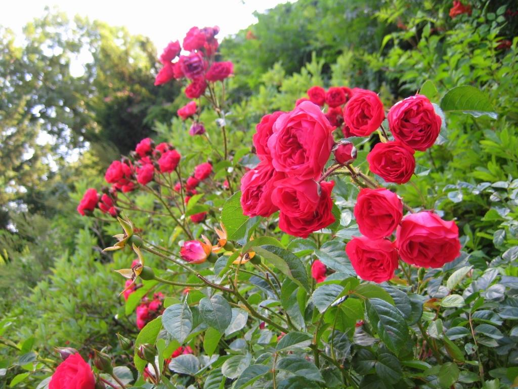 Розы для дачи посадка уход