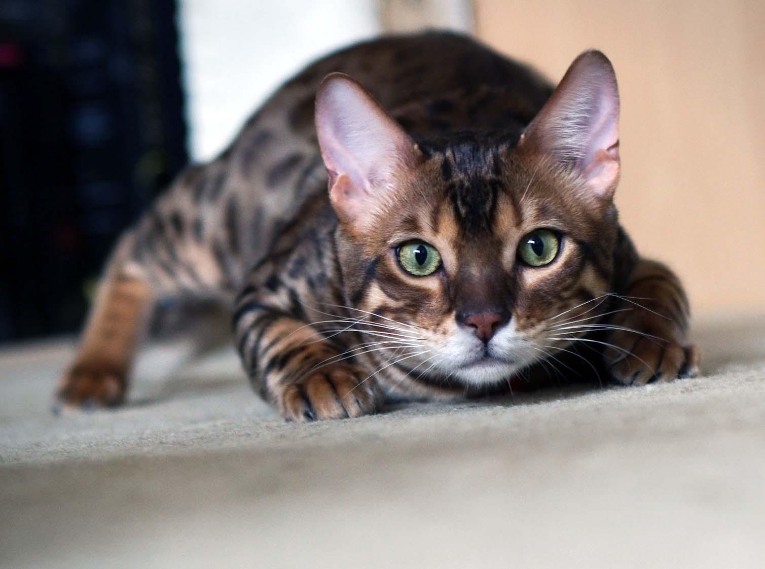Коты защищают дом и предсказывают катаклизмы