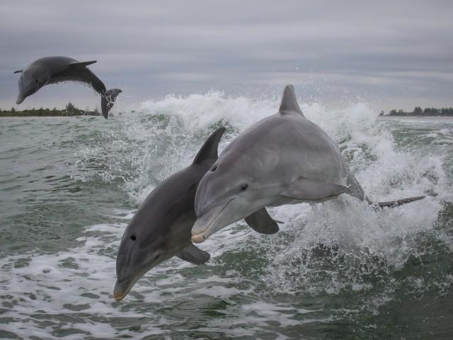 Талисман дельфин
