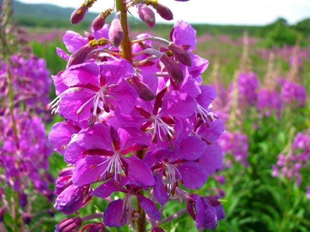 Цветы из чая