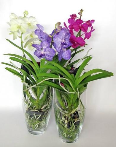 Какой сорт орхидеи выбрать для дома - ванда