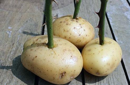 как вырастить розу из букета - растим черенок в картофеле