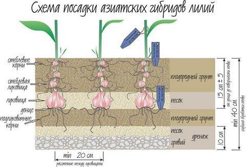 Схема высадки лилий