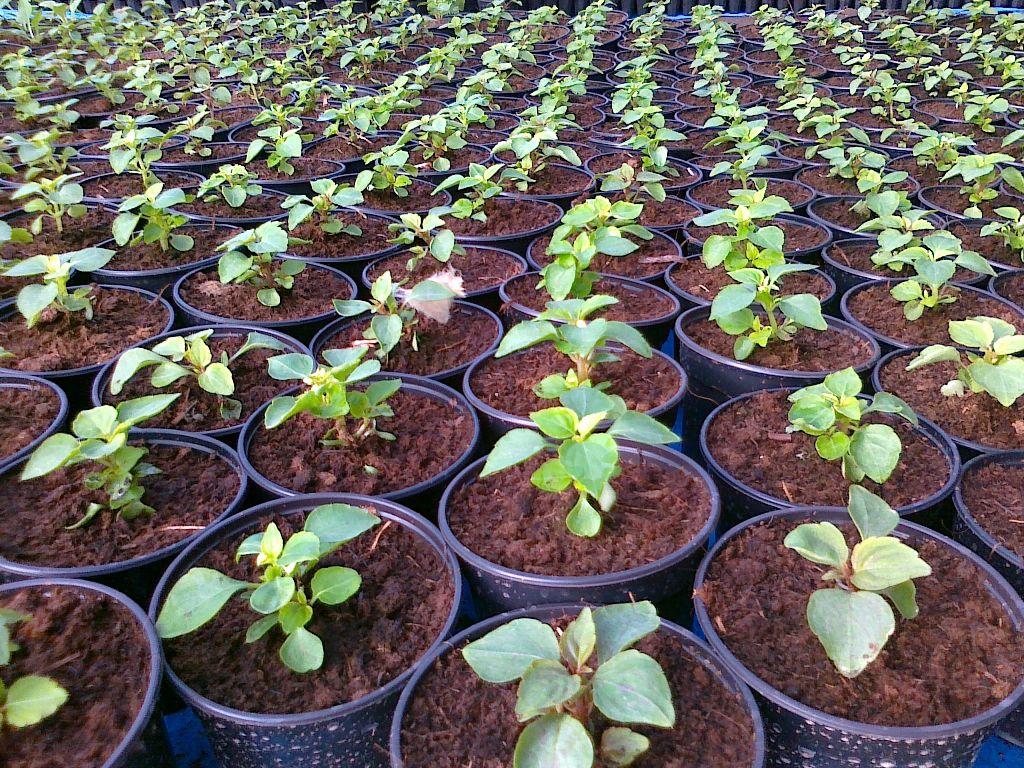 Сколько семечек бальзамина посадить на рассаду в один горшочек 59