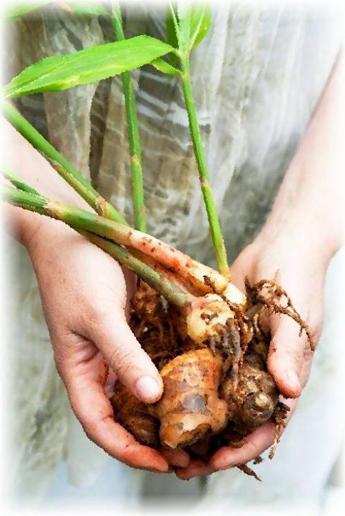 Выращивание имбиря на огороде в украине 95