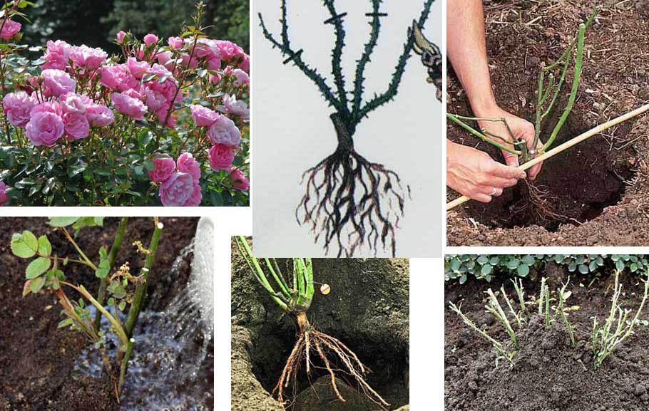 Можно ли сажать плетистую розу осенью 96