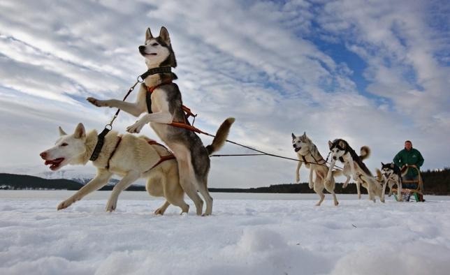 катание на собачьих упряжках байкал