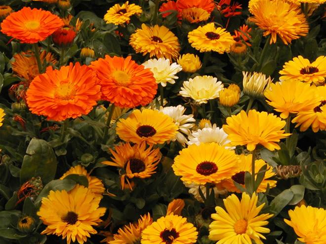 Эти неприхотливые яркие цветы называют календулой
