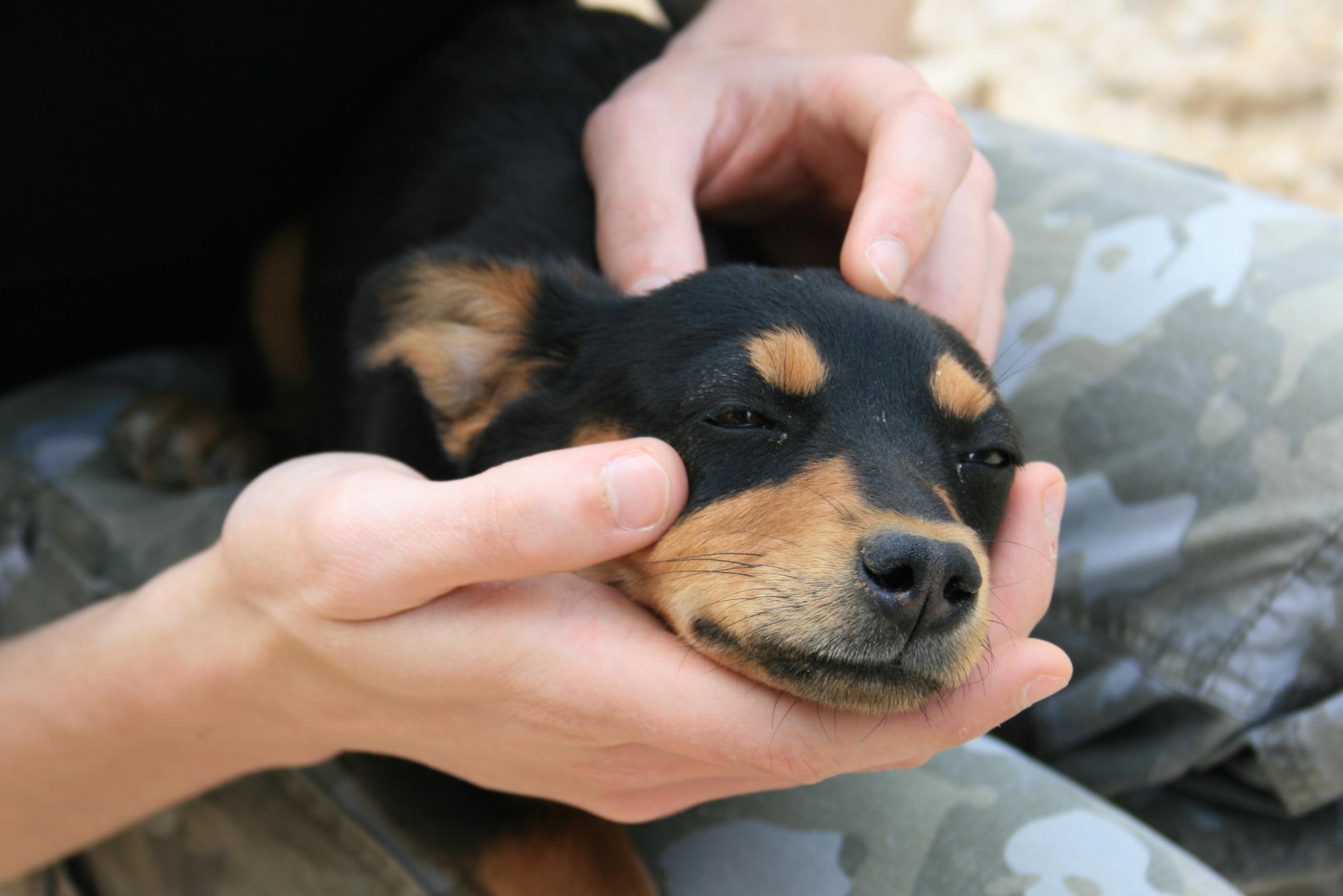 собака карликовых пород