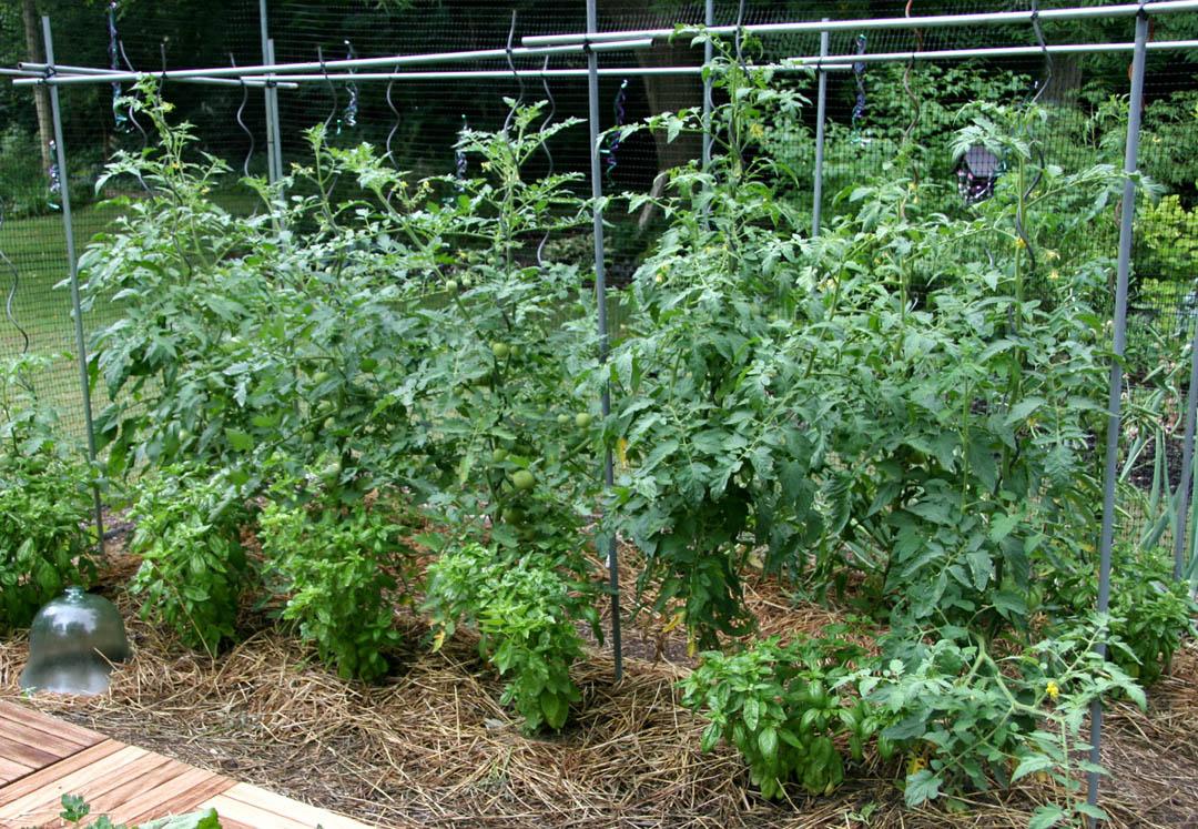 Какие лучше сажать помидоры в открытый грунт