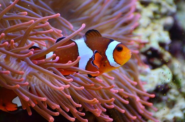 анемона или рыба клоун