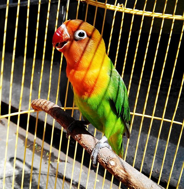 сколько лет живут попугаи неразлучники
