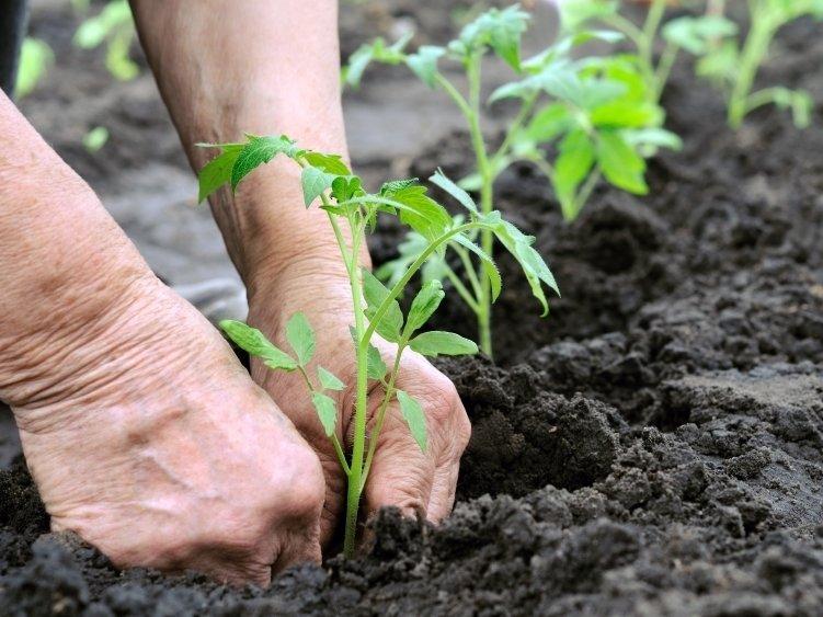 Пересадить рассаду в грунт