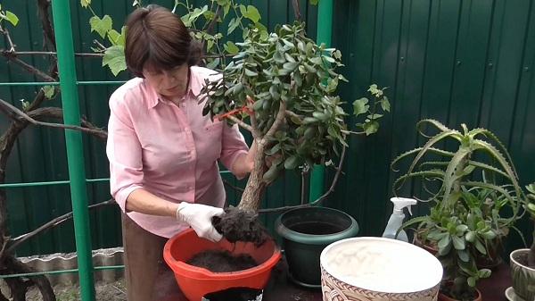 Как пересадить денежное дерево