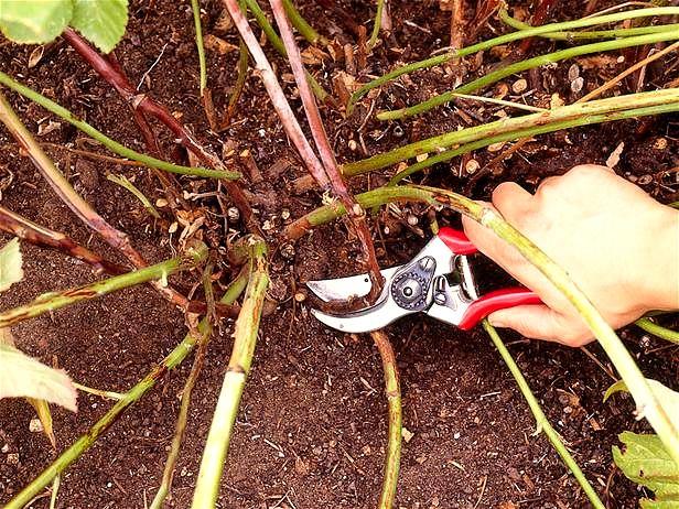 Correct clematis pruning